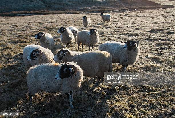 Swaledale sheep stand on frost covered moor at first light on the farm of the Yorkshire shepherdess Amanda Owen on April 15 2014 near Kirkby Stephen...