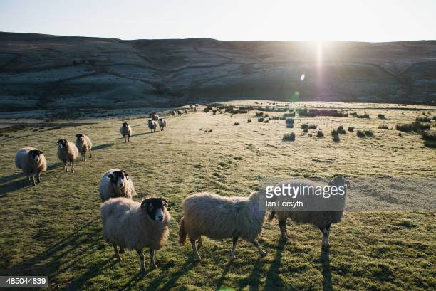 Swaledale sheep wait to be fed on a frost covered moor in Swaledale on April 15 2014 near Kirkby Stephen England Amanda Owen runs a 2000 acre working...