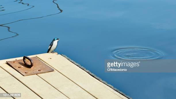 swallow alone on the quay watching the calm of the river. - crmacedonio stock photos and pictures