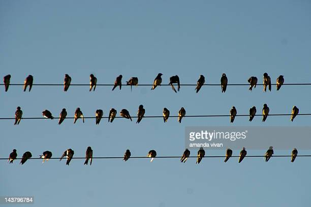 swallow birds on wire - perching stock photos and pictures
