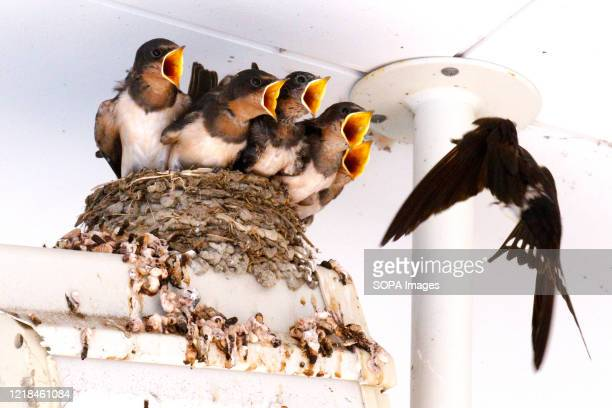 Swallow chicks open their beaks wide to be fed by their parent in a nest near a Shinagawa Station security camera in Tokyo