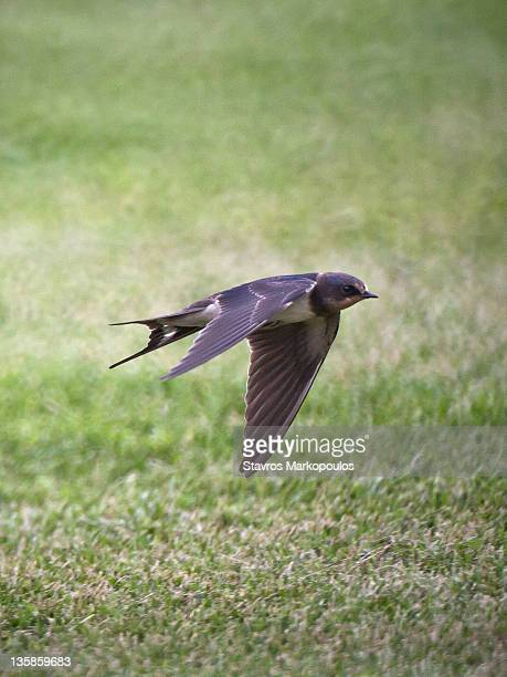 Swallow flying low