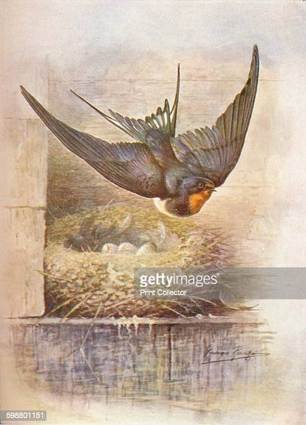 Swallow Hirundo rustica circa 1910 From Britains Birds and Their Nests by A Landsborough Thomson [The Waverley Book Company Limited W R Chambers...