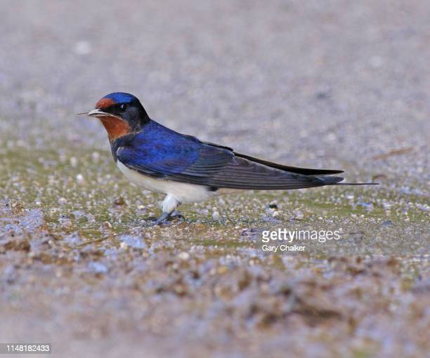 swallow [hirundo rustica] - barn swallow stock pictures, royalty-free photos & images