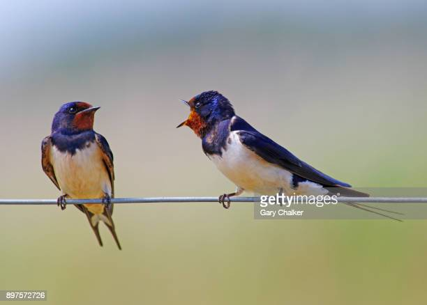 swallow [hirundo rustica] - swallow bird stock pictures, royalty-free photos & images