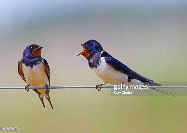 Swallow [Hirundo rustica]