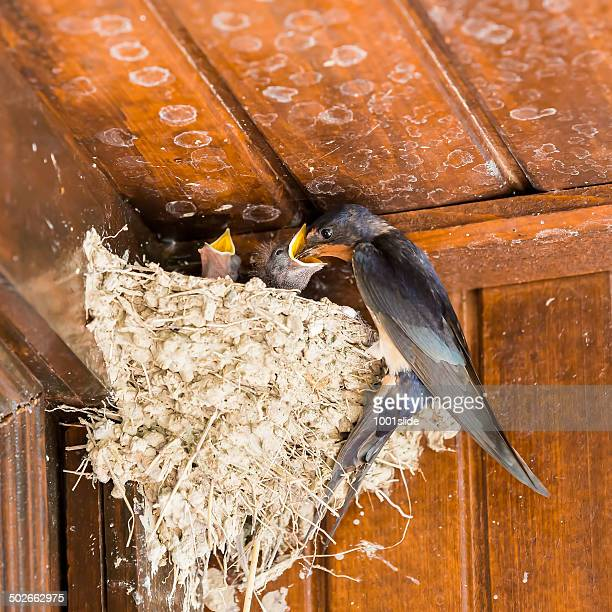 swallow nestings at very old chalet - feeding - barn swallow stock pictures, royalty-free photos & images