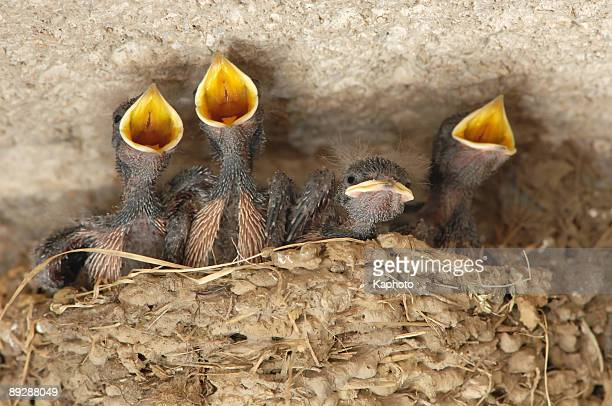 swallow (hirundo rustica) nestling - birds nest stock photos and pictures