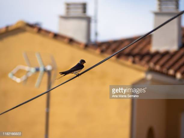 a swallow (hirundo rustica) perched on a wire - zangvogel stockfoto's en -beelden