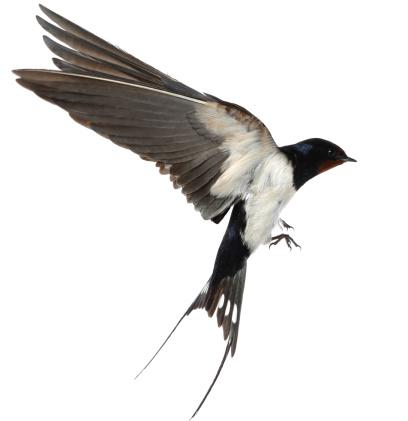 Swallow 175426390