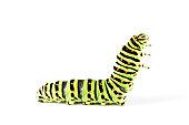 Swallow tail butterfly caterpillar 02