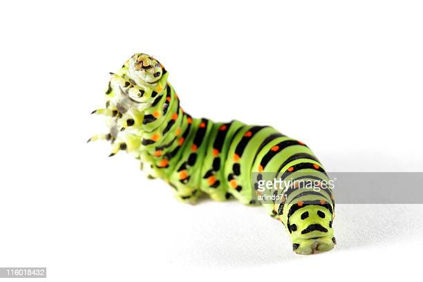 Schwalbe-tail Schmetterling caterpillar 07