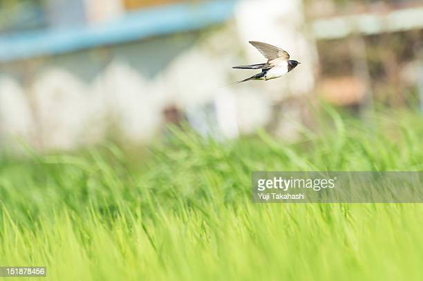 Swallow which takes wing