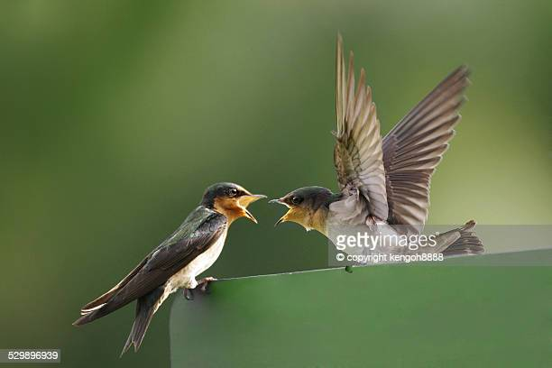 Swallows quarreling