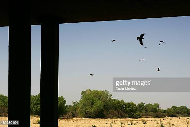 Swallows take flight from mud nests under a bridge that crosses the dried up Kern River a condition that is expected to continue as water upstream is...