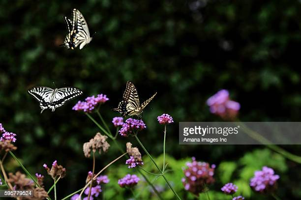 Swallowtail butterflies on flower