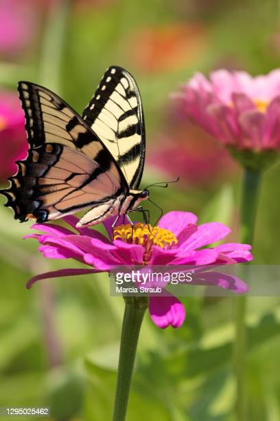 swallowtail butterfly and bright pink flowers - swallowtail butterfly stock pictures, royalty-free photos & images