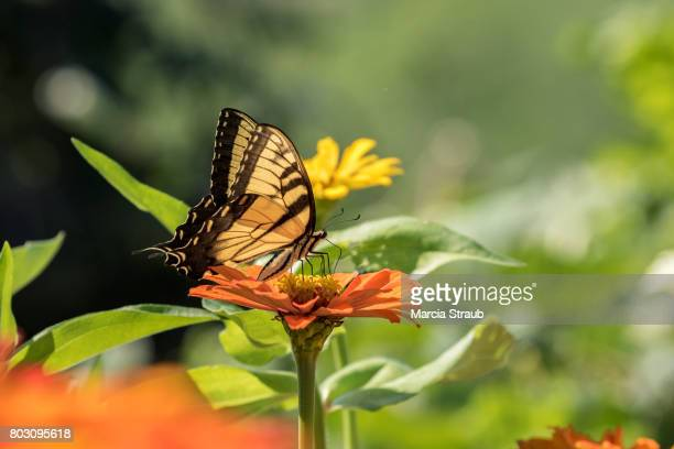 Swallowtail Butterfly and Yellow and Orange Flowers