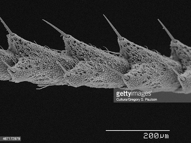 Swallowtail butterfly (Papilionidae) antenna SEM