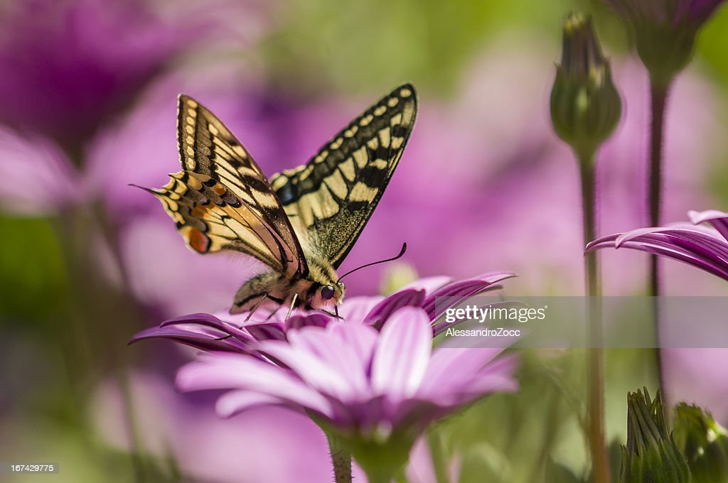 Swallowtail butterfly in a purple daisy field : Stock Photo