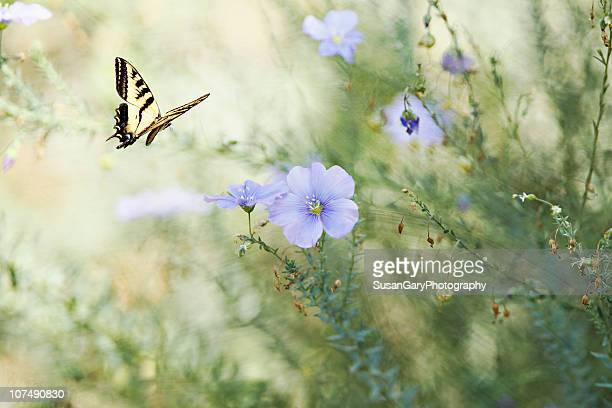 Swallowtail Butterfly in Flax Garden