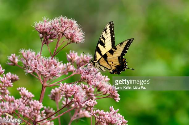 swallowtail butterfly on a flower - swallowtail butterfly stock pictures, royalty-free photos & images