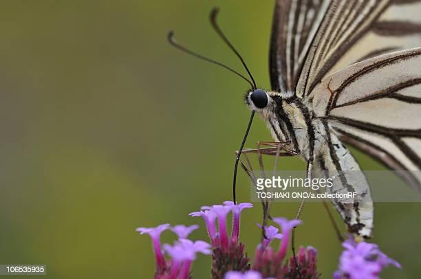 Swallowtail Butterfly on flower, Chiba Prefecture, Honshu, Japan