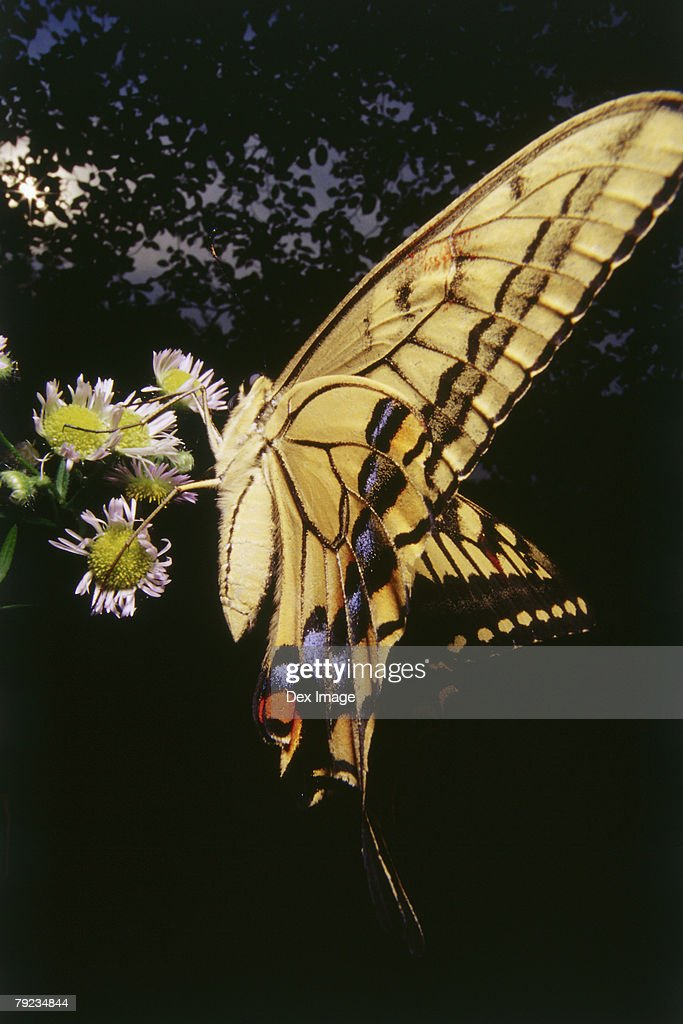 Swallowtail Butterfly on flower, close up : Stock Photo