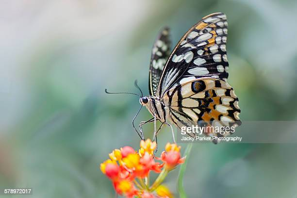 swallowtail butterfly on flower - butterfly insect stock pictures, royalty-free photos & images