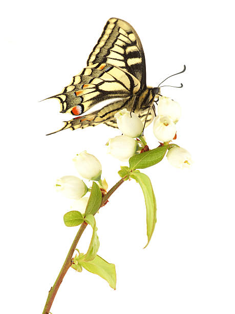 Swallowtail Butterfly on Flowers