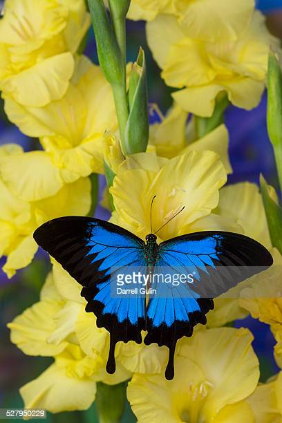 swallowtail butterfly papilio ulysses - ulysses butterfly stock pictures, royalty-free photos & images
