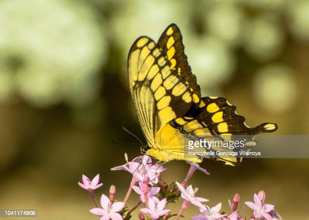 swallowtail butterfly - nancybelle villarroya stock photos and pictures