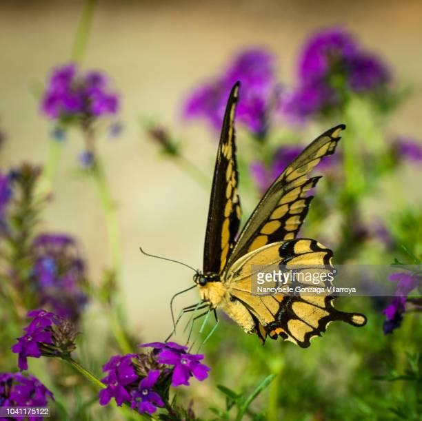 swallowtail butterfly - farfalla a coda di rondine foto e immagini stock