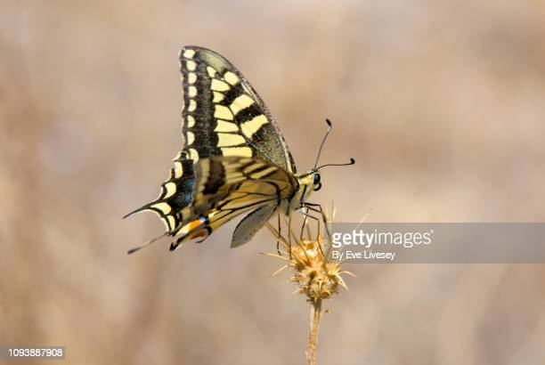 swallowtail butterfly - animal limb stock photos and pictures