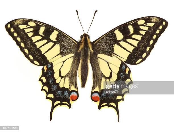 swallowtail butterfly (xxl) - swallowtail butterfly stock pictures, royalty-free photos & images