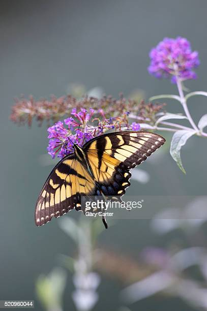 swallowtail butterfly - swallowtail butterfly stock pictures, royalty-free photos & images