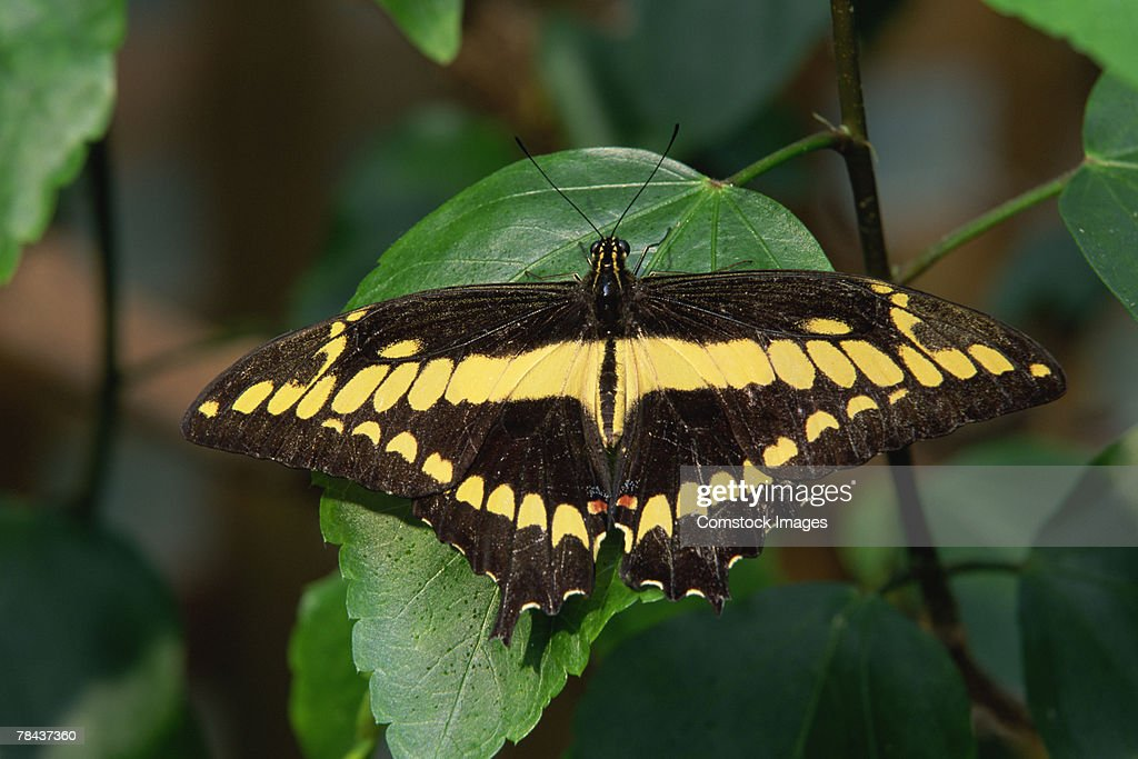 Swallowtail butterfly : Stockfoto