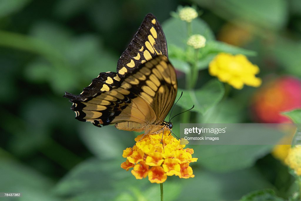 Swallowtail butterfly : Stockfoto