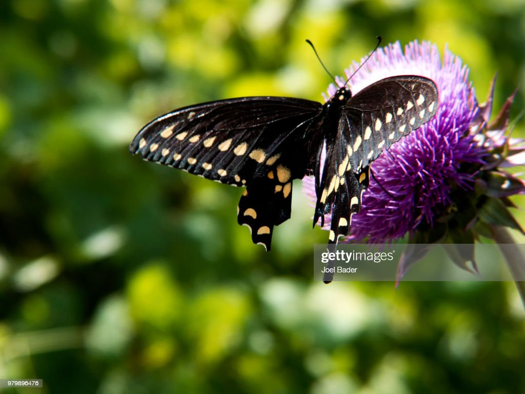 Swallowtail butterfly : Stock Photo