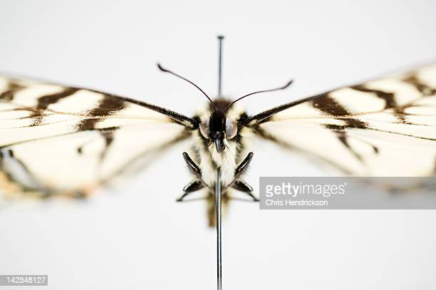 swallowtail butterfly preserved on a pin - dead animal stock pictures, royalty-free photos & images