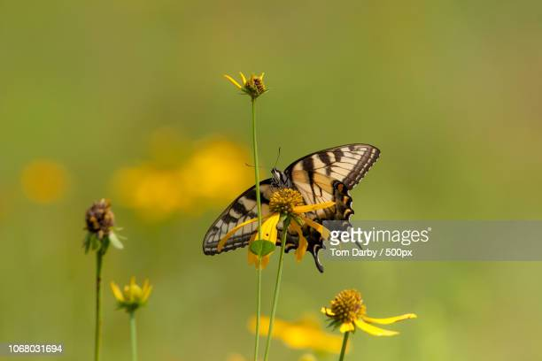 yellow swallowtail butterfly ストックフォトと画像 getty images