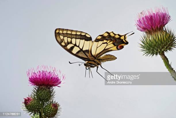 Swallowtail (Papilio machaon) in flight, on the flowers of a Thistle (Cirsium), Germany