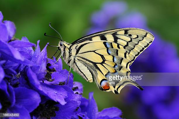 swallowtail, papilio machaon butterfly pollinating a flower (xxxl) - delphinium stock pictures, royalty-free photos & images