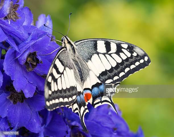 papilio farfalla papilio machaon, pollinating un fiore (xxxl - farfalla a coda di rondine foto e immagini stock