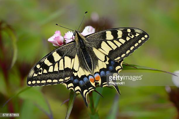 swallowtail - swallowtail butterfly stock pictures, royalty-free photos & images
