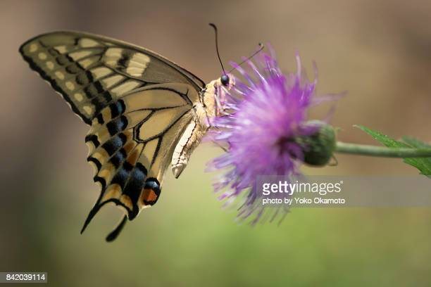 a swallowtailbutterfly and thistle - swallowtail butterfly stock pictures, royalty-free photos & images