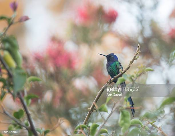 a swallow-tailed hummingbird, eupetomena macroura, perching on a tree branch in sao paulos ibirapuera park. - alex saberi stockfoto's en -beelden