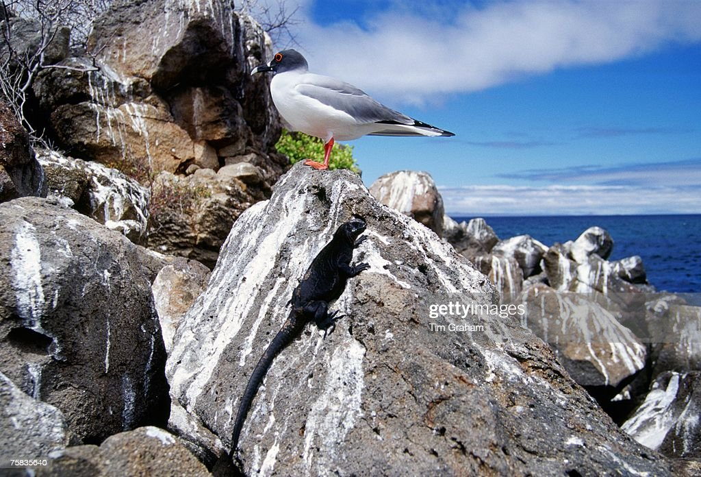 Swallow-tailed seagull and Marine iguana perched on rocks, Galapagos Islands, Ecuador