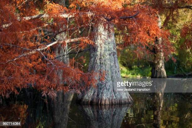 swamp cypress in autumn in late afternoon light, te haukeretu park, wellington - cypress swamp stock photos and pictures