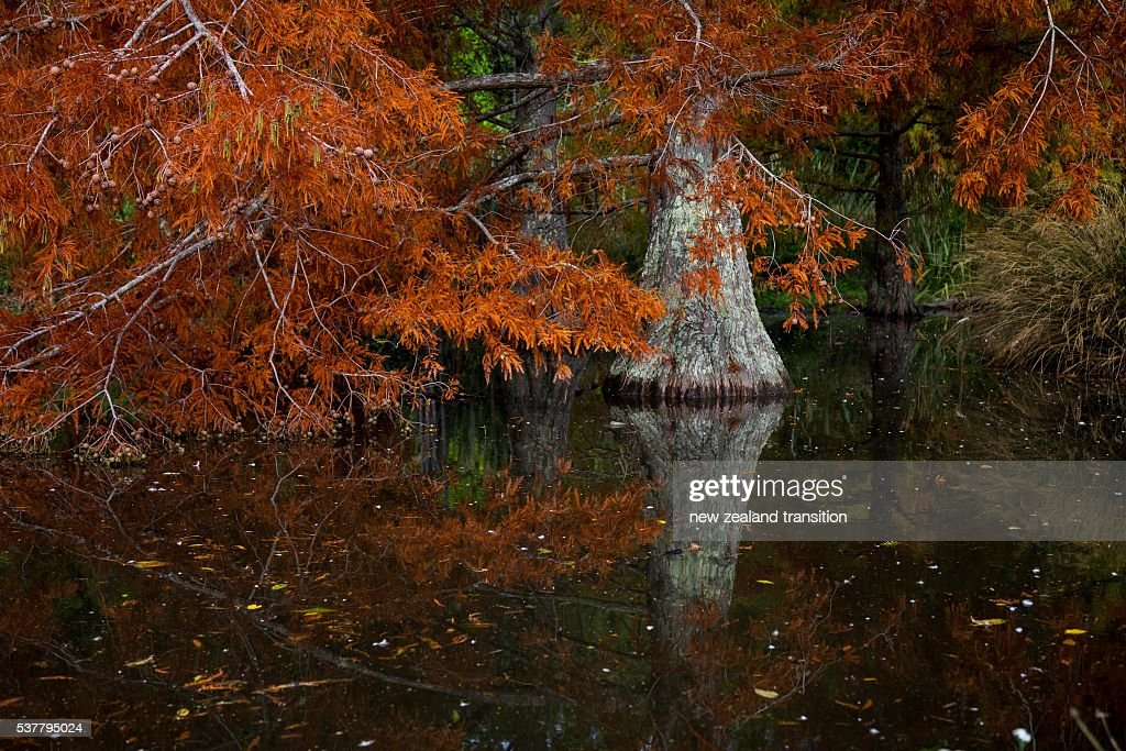 swamp cypress in autumn : Stock Photo